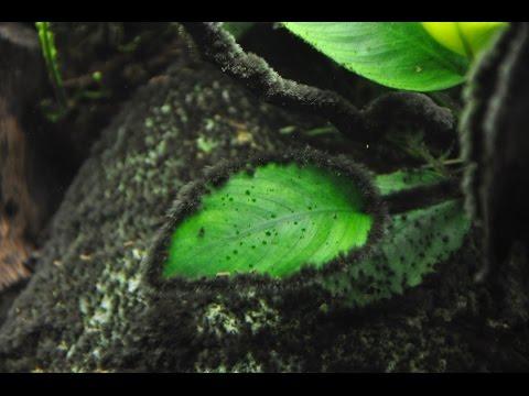 Черная борода, водоросли в аквариуме и как от этого избавиться?