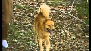 Finnish Spitz  AKC Dog Breed Series