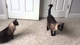 Любимые Сиамский кот Басё и Сиамская кошка Келли =^..^= СИАМСКИЕ КОШКИ