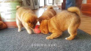 ボール遊びは真剣勝負だ!3匹の柴犬がボールを取り合うゆるゆるバトル!
