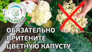 видео Причины почему не завязывается капуста