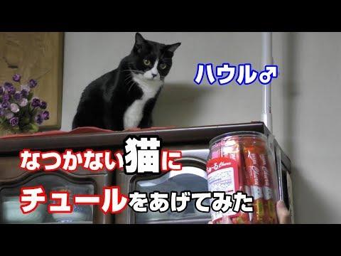 なつかない猫ハウルにチュールを 食べさせた結果  ネコパンチ An Unsuspecting Cat Hits A Human Head