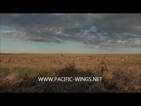 Hunting Canada Geese with Pacific Wings using the all new Power Feeder motion full body decoys