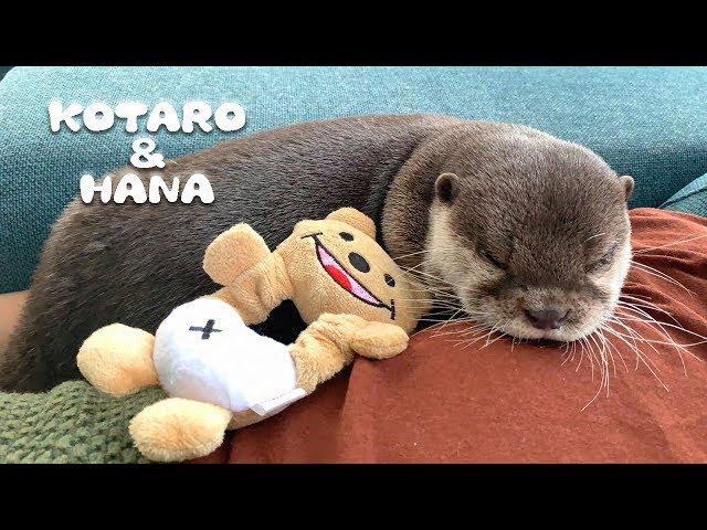カワウソコタローとハナ 父ちゃんの上でまったりほのぼの癒しの時間 Otter Kotaro&Hana Sit Back and Relax