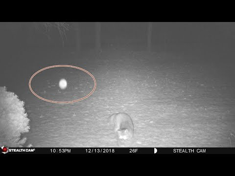 Wild Fox gets frightened by the sudden appearance of a bright Orb  take a look!