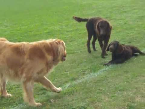 Murray River Curly Coated Retrievers and a Yellow Flat Coat Retriever