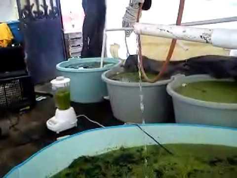 Facebook GENTE BETTA MEXICO OFICIAL-Alimentando Daphnias Con Lentejilla
