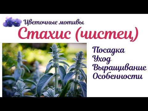 Стахис (чистец шерстистый, болотный, лесной, византийский, овечьи ушки): посадка, уход, выращивание