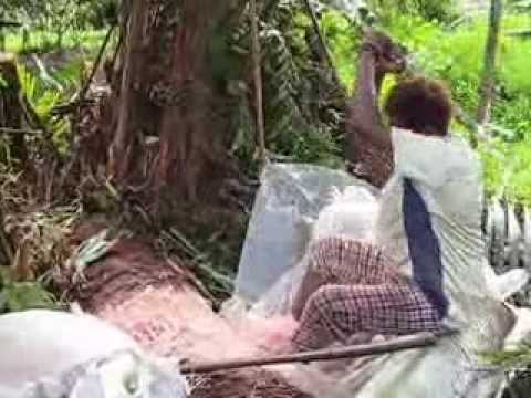 Movie On Traditional Method Of Sago Harvest For Sago