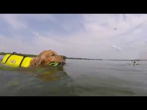 Golden Retriever Bruce nadando - Gopro Session - Rio Tietê - Brasil - swiming