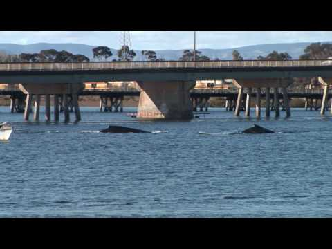 Port Augusta Whales in harbor
