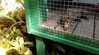 Uh Oh! Tegu misses grapes at Reptile World!