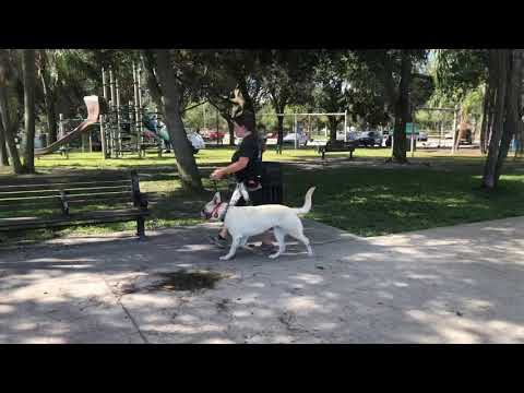 Maggie | White German Shepherd | Real World Obedience Training