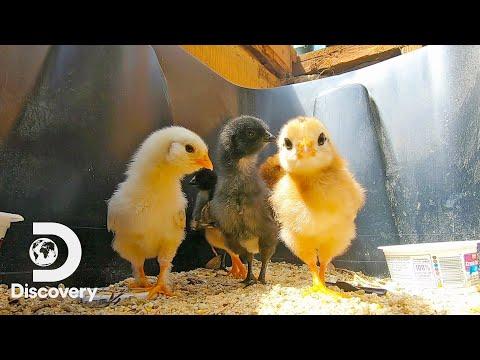Baby Chicks ASMR | River Of No Return