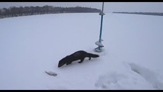 Этот зверёк ныряет в лунку и ловит рыбу ! Зимняя рыбалка на ОКЕ ! Рыбалка на мормышку!