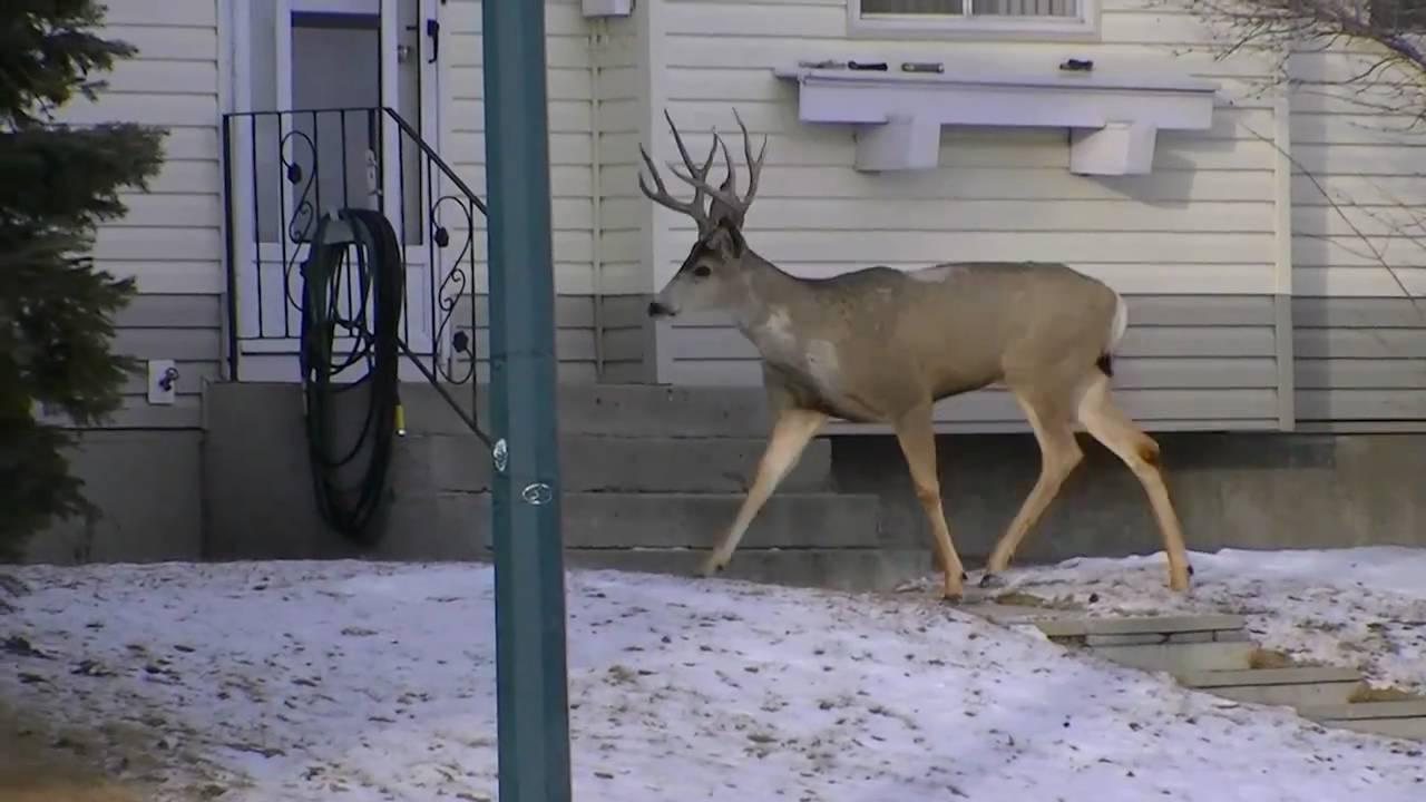 Cat Vs Dog Vs Deer Ghetto Voice Over