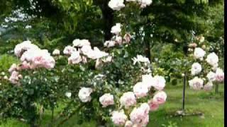 筑波山のふもとにありますフラワーパークはバラ園・ボタン園・アジサイ...
