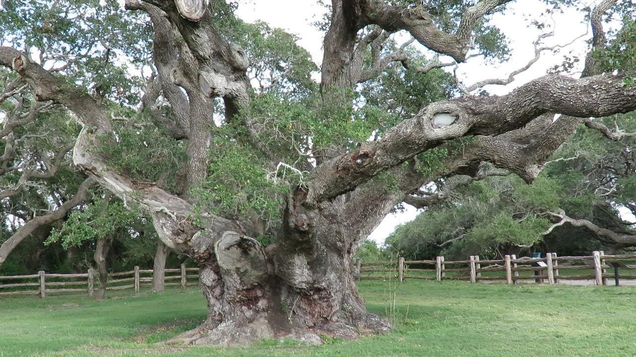 CADEAUBON BIG TREE