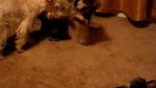 Nevaeh And Shadow's Miniature Schnauzer Litter