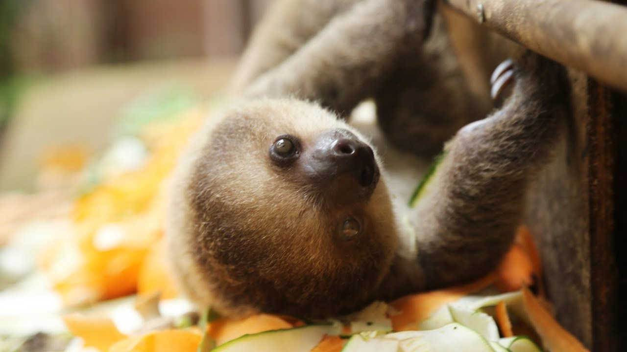 Cute Baby Sloth At Feeding Time Youtube