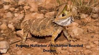 All bearded dragon species.