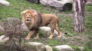 HD: Zoo Leipzig - the Lion / die Löwen