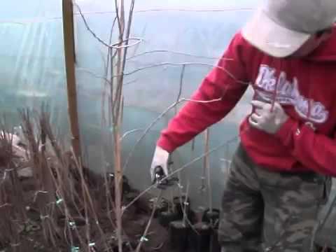 A Marin Constantin taierea arbustilor goji de anul 2 - YouTube