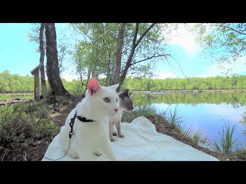 Siamese Cats Hike through Wild Forest with Lake || Siamkatzen wandern durch wilden Wald mit See