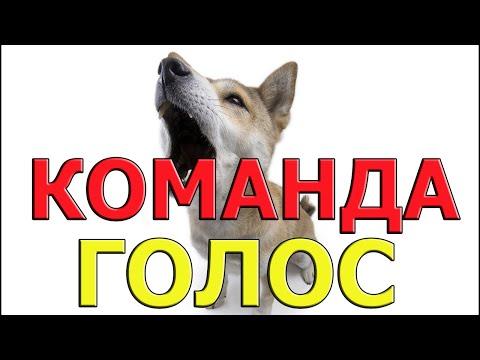Вопрос: Как надрессировать собаку команде голос?