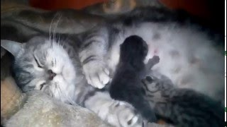 Британска кошка родила котят