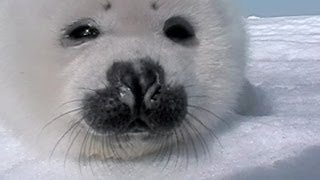 Video Baby Seal Gets Up Close And Personal! download MP3, 3GP, MP4, WEBM, AVI, FLV Juli 2018