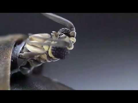 Strepsiptera emerging from host