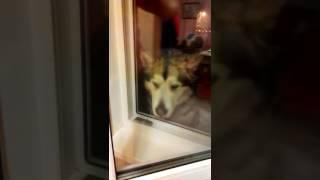 Собака и окно .