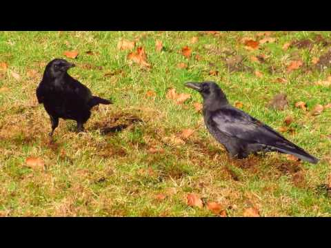smart crows tearing up a lawn looking for chafer beetle grubs in British Columbia invasive species
