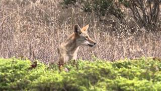 Mother Coyote Barks Distressingly Due to Presence of Dogs