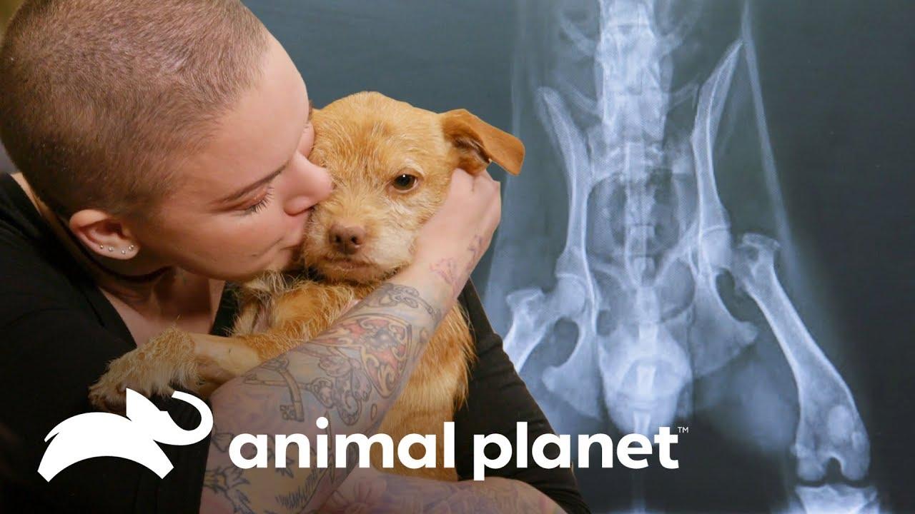 Cachorro con historial de maltrato es adoptado   Amanda al rescate   Animal Planet