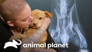 Cachorro con historial de maltrato es adoptado | Amanda al rescate | Animal Planet