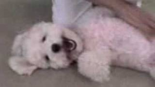 Proof That Dogs Can Smile ~  Bichon Frise ~ Funny Dog! ~ Bichon Poodle