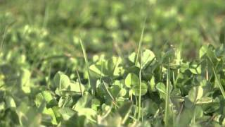Choosing Red Clover - Cotswold Seeds