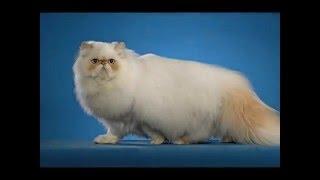 Гималайская  кошка/Himalayan cat