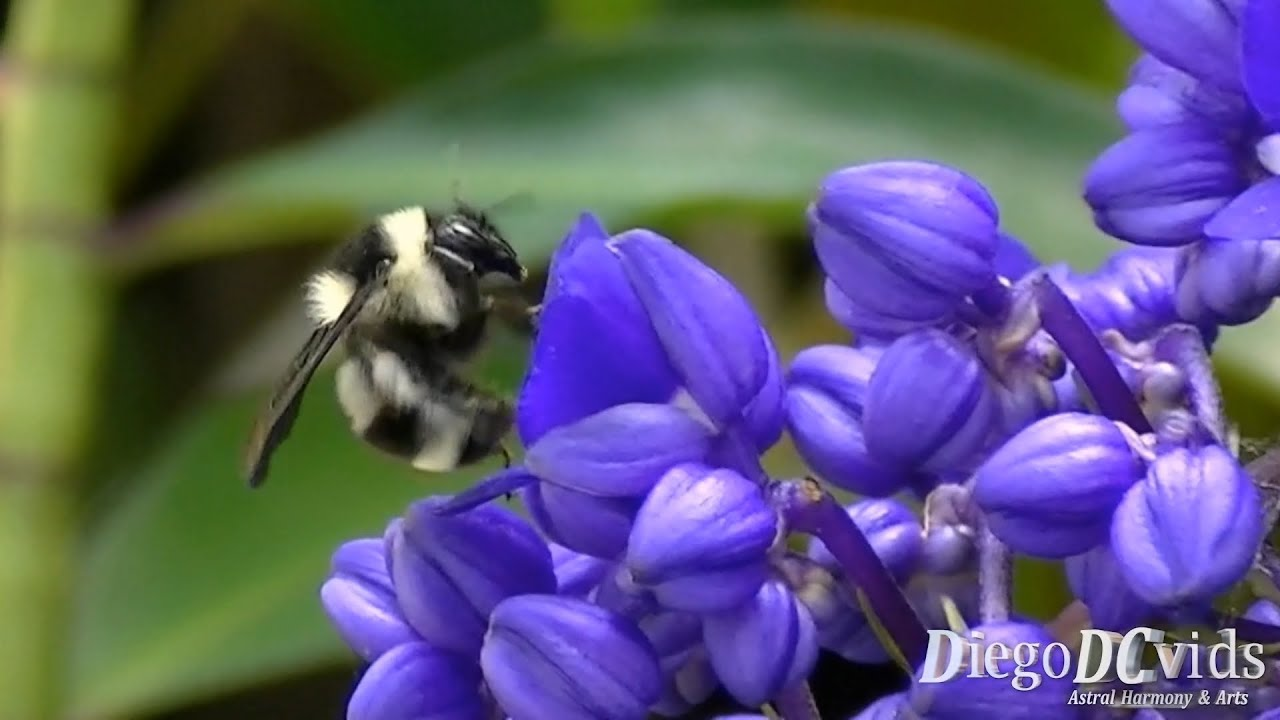 bombus brasiliensis mamangaba abelhão branco e preto bombini