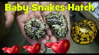 BABY SNAKES HATCH - SnakeHuntersTV