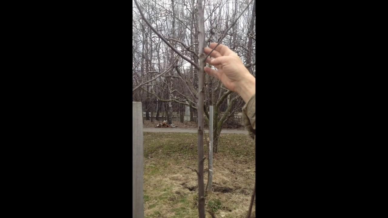 как правильно обрезать молодую яблоню осенью видео