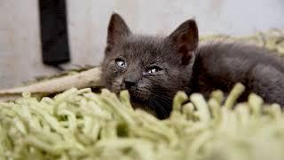 Дымчатый котёнок | Smoky kitten