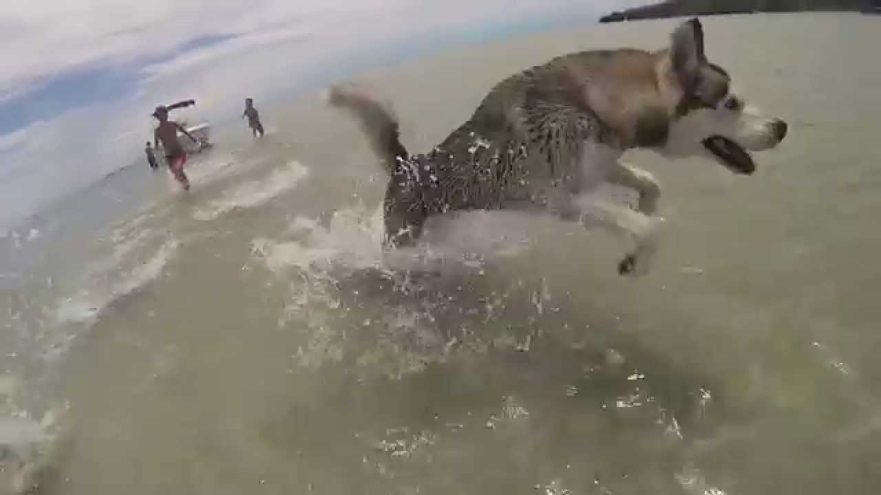 Husky Playing In Water