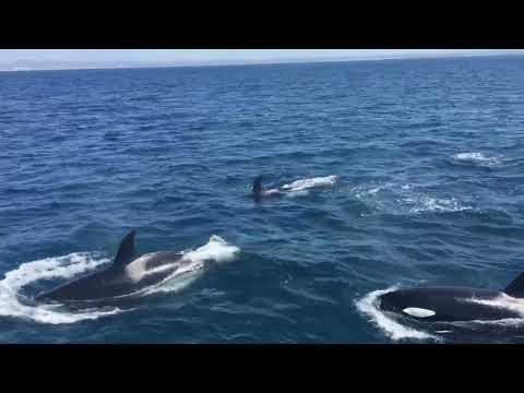 Killer Whales off Oceanside Oct 3, 2017 with Oceanside Adventures