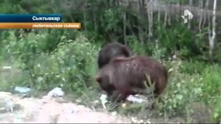 Автомобилисты в Сыктывкаре прикормили троих медвежат