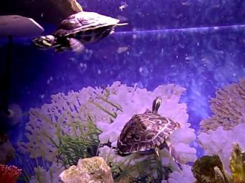 Acuario tropical tortugas acuaticas trachemys scripta for Acuario tortugas