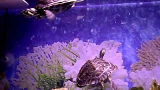Acuario Tropical.-.Tortugas Acuaticas.-.Trachemys Scripta.-.
