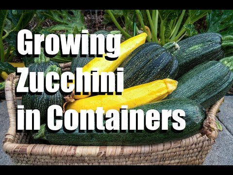 Growing Zucchini in Containers, Blossom End Rot, Powdery Mildew ...